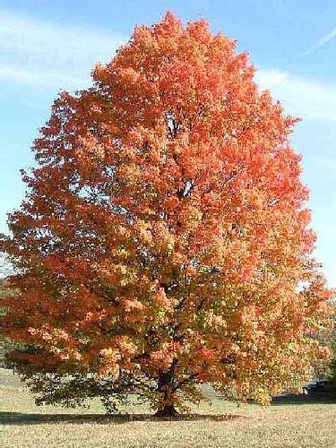 Viaggio tra i legni acero mosaici pastore for Acero rosso canadese prezzo